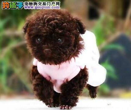 精品泰迪犬出售 玩具体 茶杯体 包纯种健康 可刷卡