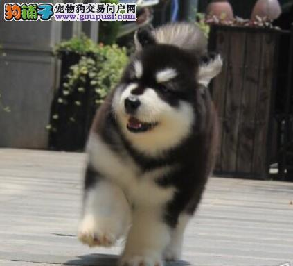 贵阳售纯种健康熊版阿拉阿拉斯加雪橇犬幼犬