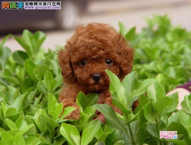 CKU认证犬舍出售高品质茶杯犬欢迎爱狗人士上门选购