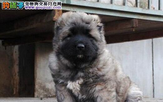 基础训练 训练高加索犬是怎么炼成的