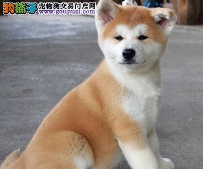 出售纯种秋田犬 保证纯种健康 终身质保 饲养指导