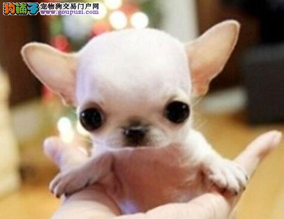 墨西哥小吉娃娃幼犬长春待售 苹果头金鱼眼 可随身携带