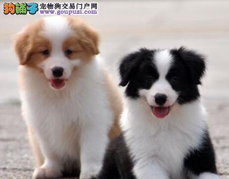 天津市出售赛级极品蓝白色 边境幼犬!
