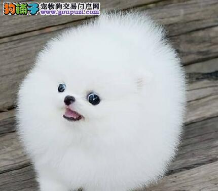 重庆哪里有卖博美犬重庆玩具博美犬价钱 重庆球体博美