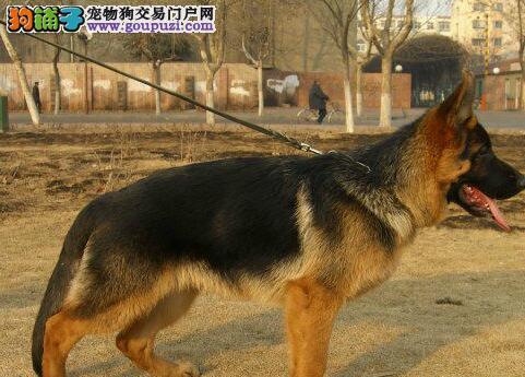 德国牧羊犬多少钱一只