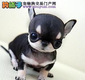 顶级宁波信誉犬舍热销吉娃娃 有喜欢的可来当地购买