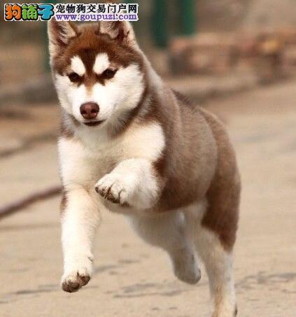 宁波专业狗场热销哈士奇 品种多颜色齐全有防疫证明