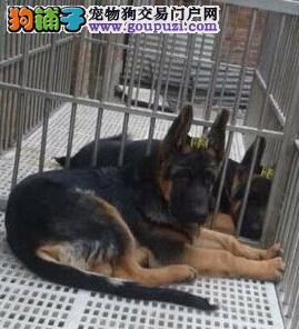 直销价格转让纯种广州德国牧羊犬 支持全国空运发货