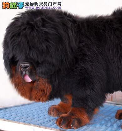 太原精品大狮头小獒出售 双血系藏獒幼犬可以视频看獒