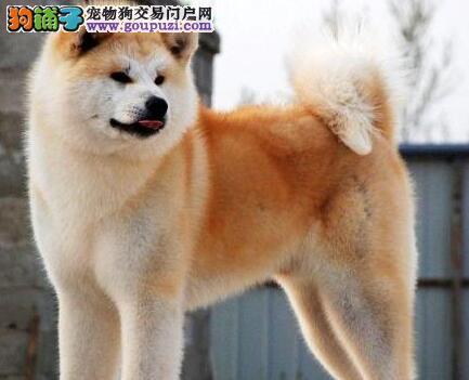 广州基地出售血统正宗品相好秋田犬 保证品质健康
