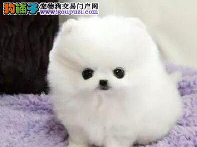 雪白可爱伶俐博美犬 随时看狗 北京朝阳当面交易