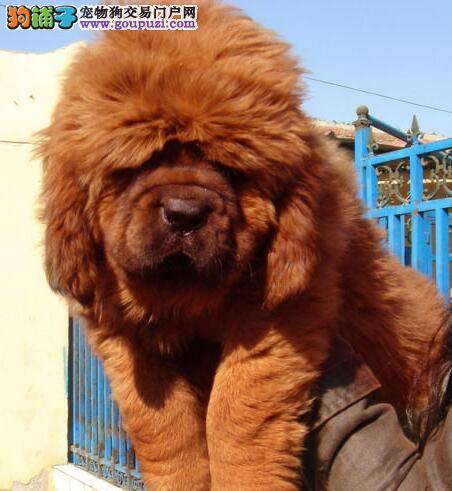 西安精品大狮头小獒出售 双血系幼犬 可以视频看本獒