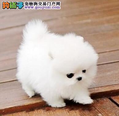 深圳正规狗场 出售哈多利圆球博美幼犬 包纯种健康