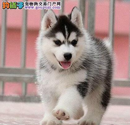 贵阳实体狗场出售纯种健康的哈士奇幼犬 非诚勿扰2