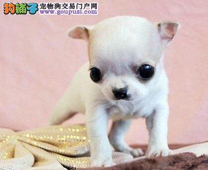 实体店低价促销赛级吉娃娃幼犬品质优良诚信为本
