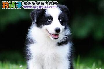 北京出售边境牧羊犬 公母均有 健康品质有协议保障