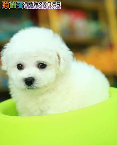 重庆比熊犬多少钱 重庆到哪能买到健康法国比熊幼犬