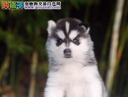 重庆顶级净脸哈士奇幼犬优惠出售血统纯