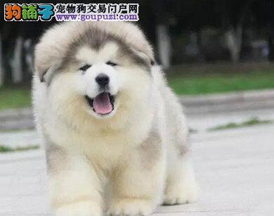 人工喂养阿拉斯加雪橇犬需要注意的事情有哪些5