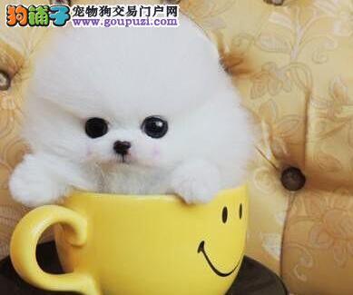 广州狗场出售哈多利高品质博美犬 签署售后协议