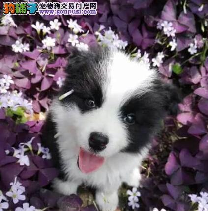 南京狗场直销健康的边境牧羊犬 公母均有 多只可选
