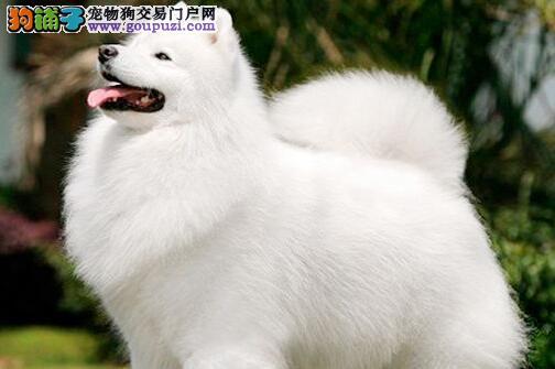 大连本地狗场直销价格出售微笑天使萨摩耶 有问题可换