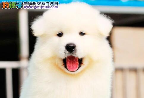 微笑天使没有杂毛的萨摩耶幼犬找新主人 南昌市内送货