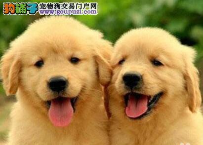 低价出售金黄色的贵阳金毛犬 喜欢的朋友请不要错过
