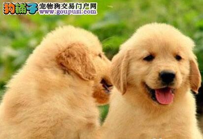 特价出售大骨架福州金毛犬 血统清楚可鉴定保证健康3