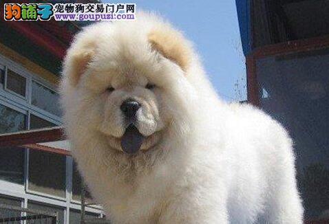 衡阳高品质肉嘴松狮犬幼犬出售 保证健康假一罚十