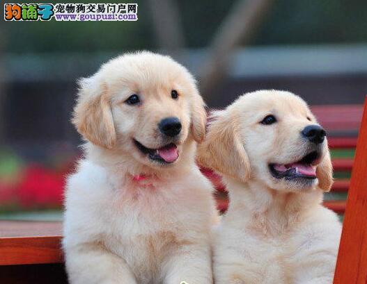 贵阳知名犬舍出售高品质金毛幼犬 带血统带证书带芯片1