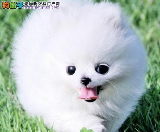 北京顶级高品质的博美幼犬出售了 疫苗做完 质量三包