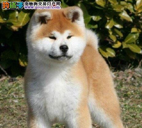 色泽亮丽活泼可爱的南京秋田犬找新主人 求好心人收留1