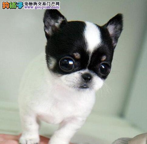 黑黄铁包金乳白纯一色小体苹果头吉娃娃幼犬 半价出售