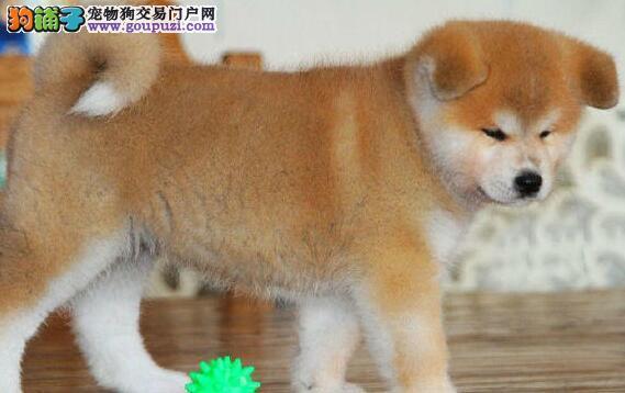 繁殖基地出售多种颜色的秋田犬最优秀的售后