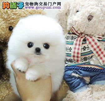 自贡球体博美幼犬出售 毛量多品相好 保健康可上门挑选