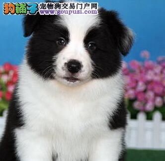 北京出售聪明小鬼纯种边牧幼犬 让你爱不释手保证纯种