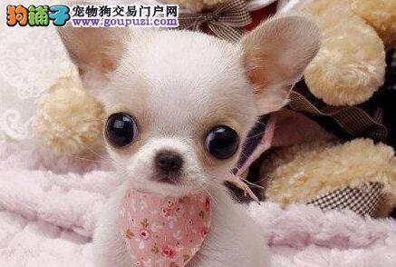 杭州大型实体店直销品质好的吉娃娃大眼睛苹果头