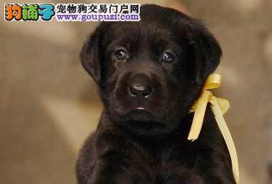 养殖场直销精品成都拉布拉多犬签订购买合同