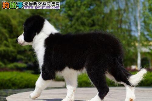 重庆出售超漂亮的边境牧羊犬 可加微信看视频 有大优惠