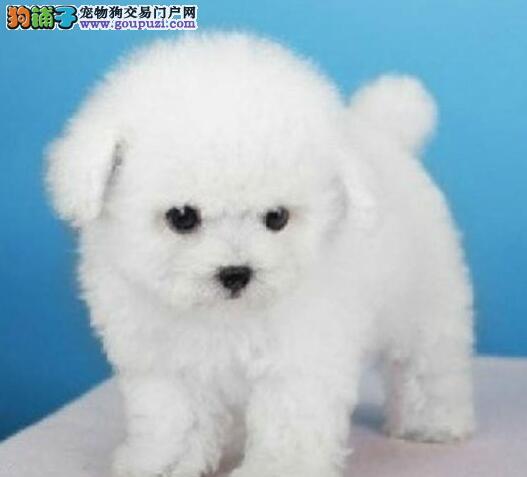 大型犬舍直销价格出售西安比熊犬 可送货可签订协议书