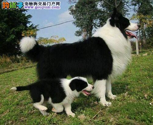 CKU认证犬舍直销/赛级边牧幼犬/纯种健康签订质保协议