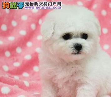 韩国引进大眼睛甜美脸型比熊幼犬出售血统纯正品相超好图片