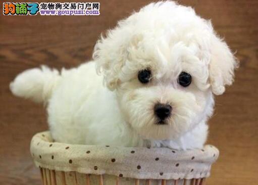 特价出售大眼比熊犬深圳市区内购犬可送狗粮