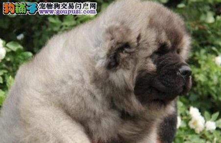 出售纯种大型猛犬高加索