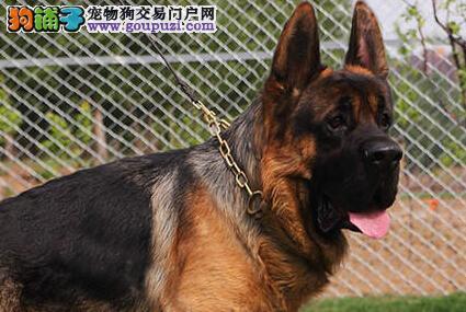 大头锤系合肥德国牧羊犬直销出售 犬舍专业繁殖保品质