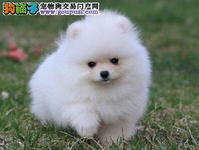 北京出售纯种茶杯博美犬小博美都市丽人最佳伴侣