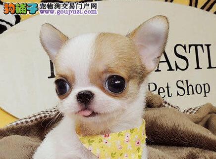 超小体南通吉娃娃幼犬火热开售啦 提供血统证书和芯片