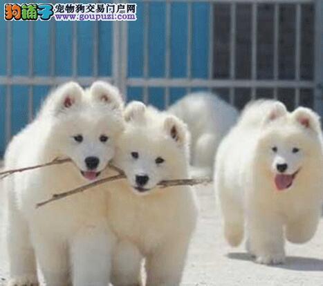 正规犬舍低价出售优秀澳版广州萨摩耶 不通过任何中介