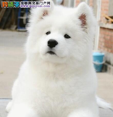 周口微笑天使萨摩耶犬赛级血统小萨火热出售宠物级萨摩
